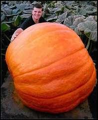 超巨大かぼちゃ 1粒