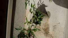 モッコウバラ挿し木