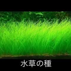 水草の種《10g》ロングヘアグラス 種から育てる水草