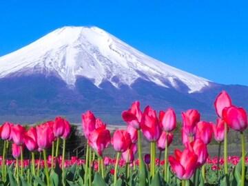 世界遺産 富士山とチューリップ畑 写真 A4又は2L版 額付き